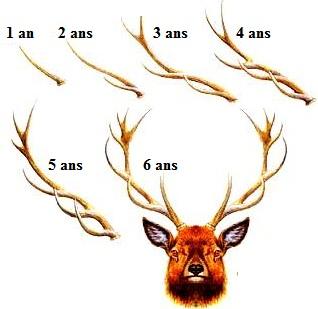 les bois du cerf et son âge
